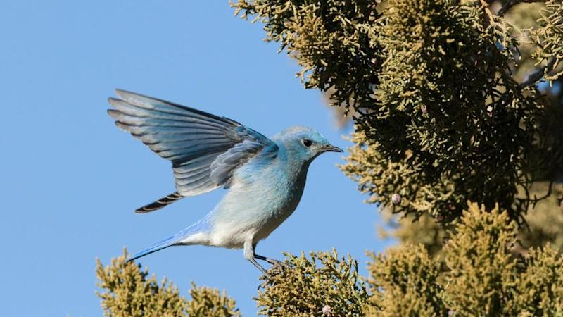 A mountain bluebird feeds on juniper berries in New Mexico