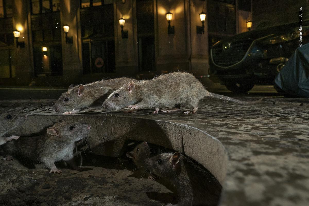 The rat pack by Charlie Hamilton James, UK. On Pearl Street, in New York's Lower Manhattan, brown rats scamper between their home under a tree grille and a pile of garbage bags full of food waste.