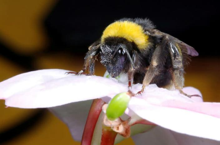 FILE PHOTO: A bumblebee collects nectar from a flower, in Vina del Mar