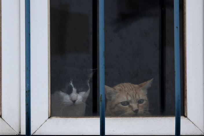 Two cats watch from a window during quarantine in Lisbon on April 10, 2020.
