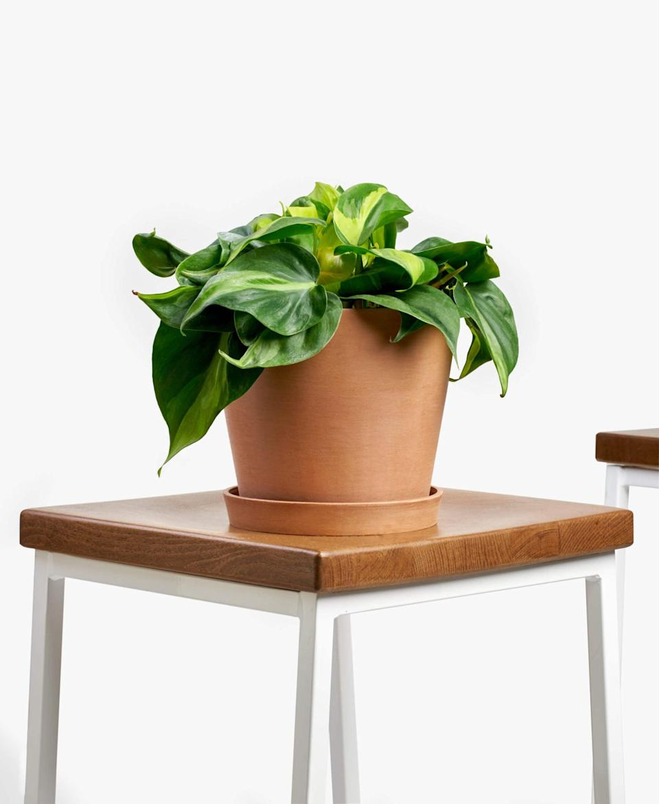 "<p>The <a href=""https://www.popsugar.com/buy/Potted-Philodendron-Brasil-Indoor-Plant-425128?p_name=Potted%20Philodendron%20Brasil%20Indoor%20Plant&retailer=bloomscape.com&pid=425128&price=65&evar1=casa%3Aus&evar9=47423087&evar98=https%3A%2F%2Fwww.popsugar.com%2Fphoto-gallery%2F47423087%2Fimage%2F47423329%2FPotted-Philodendron-Brasil-Indoor-Plant&list1=shopping%2Chouse%20plants%2Cplants%2Chome%20decorating%2Cdecor%20shopping%2Cbloomscape&prop13=api&pdata=1"" class=""link rapid-noclick-resp"" rel=""nofollow noopener"" target=""_blank"" data-ylk=""slk:Potted Philodendron Brasil Indoor Plant"">Potted Philodendron Brasil Indoor Plant </a> ($65) is a fast-growing, easy, vining plant.</p>"