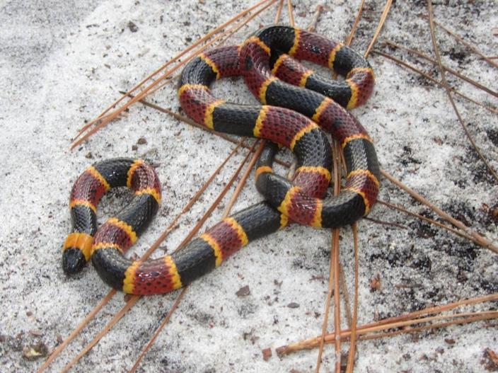 This adult female eastern coral snake was discovered in May 2013 in Carolina Beach State Park.