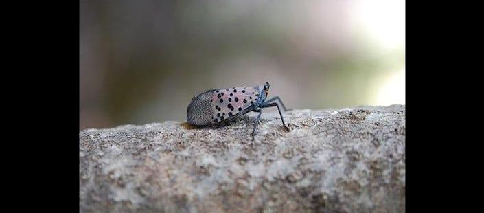 Profile of spotted lanternfly adult at rest. If allowed to spread in the U.S., this pest could seriously impact the country's grape, orchard, and logging industries, according to the USDA.