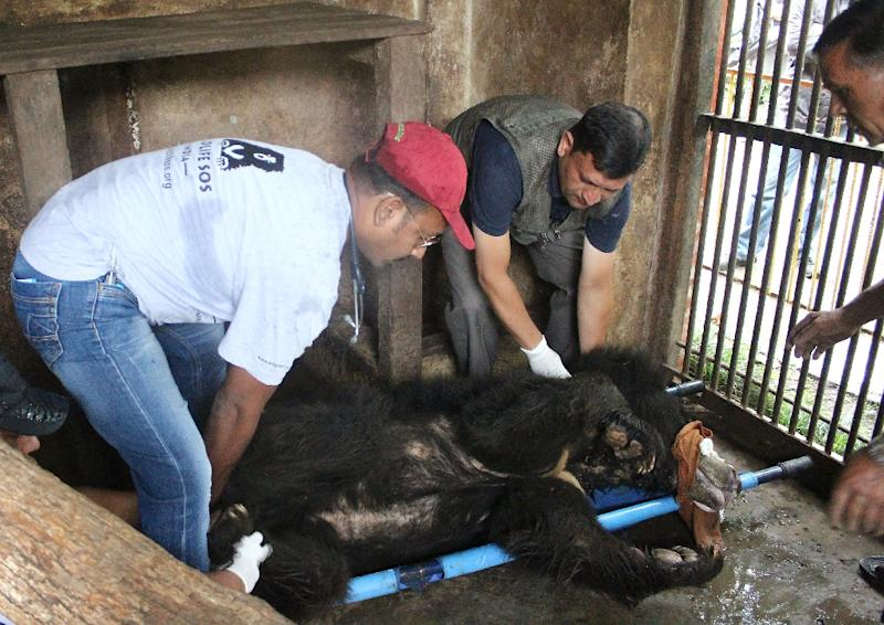 Wildlife officials prepare to transport Rangila, Nepal's last known dancing bear, from Kathmandu to an animal ambulance for the journey to India (AFP Photo/Shresatha PACHORI)