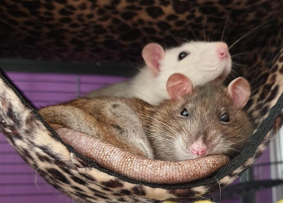 Dr Leanne Proops' pet rats Harry (white) and Huxley. (University of Portsmouth/PA)