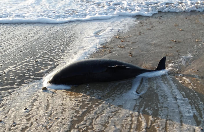 This porpoise, along with seven other marine mammals, have been found dead along the Dorset coast (Source: Andy Earley)