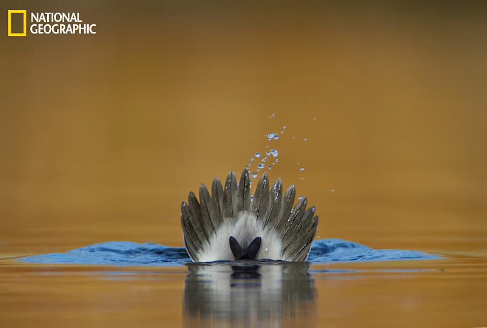 """A male bufflehead (Latin name: <i>Bucephala albeola</i>) is captured as he dives under the water, tail up. This photograph was taken in a small pond in the park near my house in Colorado, in late fall. The shot is taken from a very low angle, with the camera lens a couple inches above the water surface. The yellow background is a reflection from the dry grasses surrounding the pond, and the blue color is a reflection from the sky. (Photo and caption Courtesy Verdon Tomajko / National Geographic Your Shot) <br> <br> <a href=""""http://ngm.nationalgeographic.com/your-shot/weekly-wrapper"""" rel=""""nofollow noopener"""" target=""""_blank"""" data-ylk=""""slk:Click here"""" class=""""link rapid-noclick-resp"""">Click here</a> for more photos from National Geographic Your Shot."""