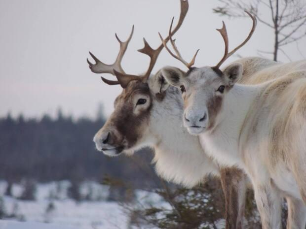 Word of an alleged caribou hunt underway in Labrador has renewed frustrations for groups worried about the protected population. (Submitted by Katrina Noel - image credit)