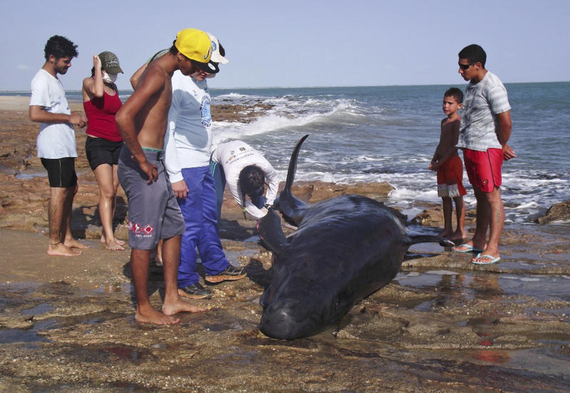 In this photo released by the Voz de Areia Branca, a community news blog, people look on as biologists inspect a dolphin on Upanema beach in the Areia Branca municipality of Rio Grande do Norte State, Brazil, Sunday, Sept. 22, 2013. Around 30 large dolphins known as false killer whales beached themselves in northeastern Brazil. (AP Photo/Carlos Junior, Voz de Areia Branca)