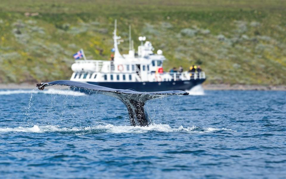 iceland whale watching - iStock