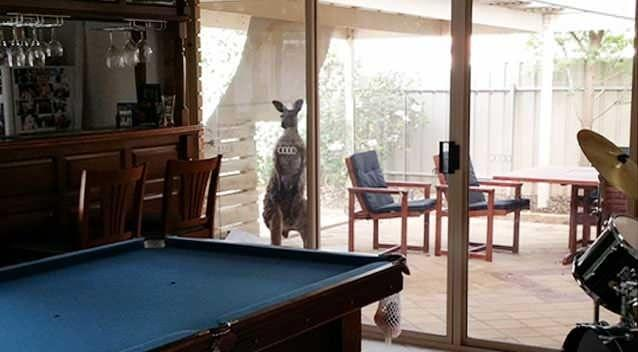 The roo appeared to have made itself at home after its swim. Photo: Dan Hughes.