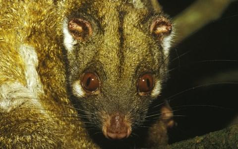 Possum and mosquitoes are believed to help spread the disease - Credit:  Auscape