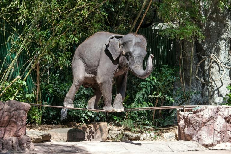 Of the 2,923 elephants WAP documented working within Asia's tourism trade, 2,198 were found in Thailand alone