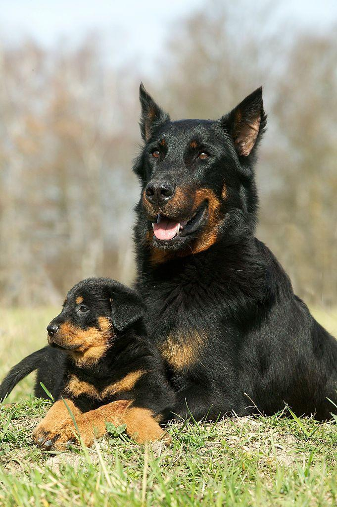 <p>Well trained Beaucerons make great watchdogs, but they're not for first-time dog owners. The AKC says this breed is so cunning, it can end up owning you! </p>