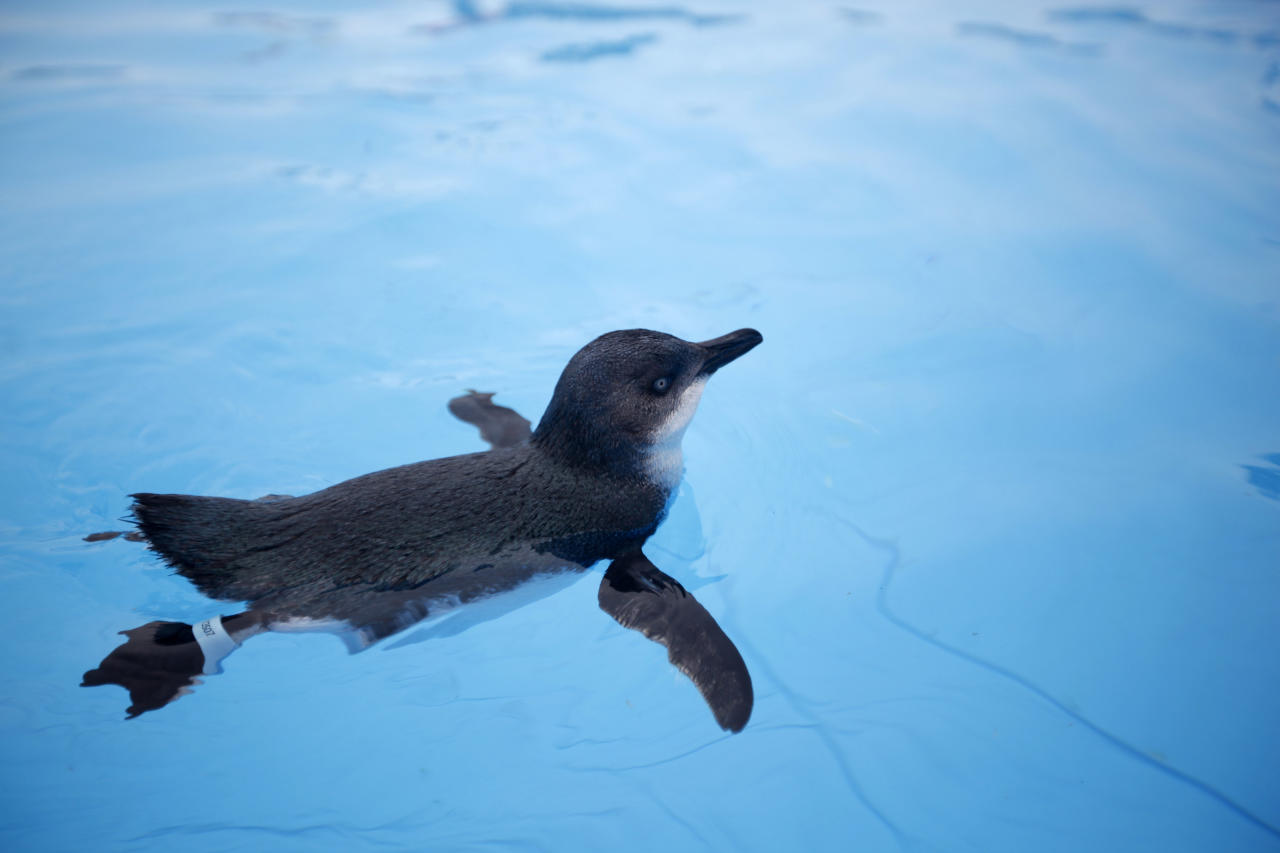 An oiled little blue penguin swims on a pool for recovering at the wildlife facility in Tauranga, New Zealand Tuesday, Oct. 11, 2011. The penguins were rescued from the sea following the Liberia-flagged container ship Rena which ran aground last Wednesday has been leaking fuel. (AP Photo/ Natacha Pisarenko)