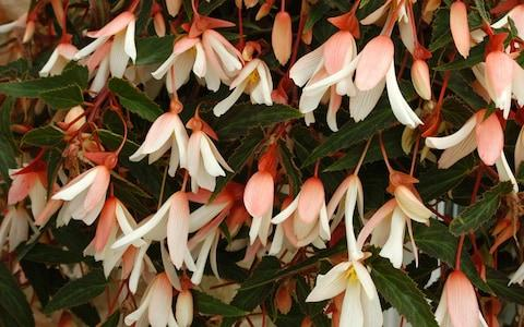 Begonia - Credit:  Ball Colegrave LTD