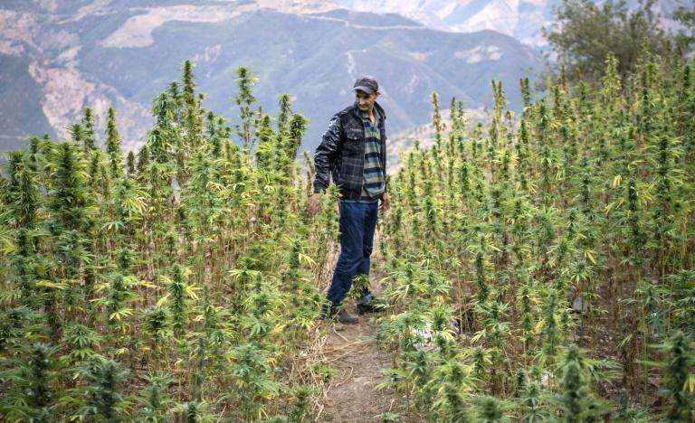 Although still coveted by afficionados, Morocco's local strain of marijuana, known as Beldiya, is gradually disappearing from the fields in the North African kingdom (AFP Photo/FADEL SENNA)