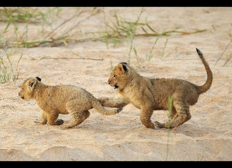 Adorable lion cubs play on the banks of the Makhutswi River in Edeni. <em>Photo by Cameron Spencer/Getty Images</em>