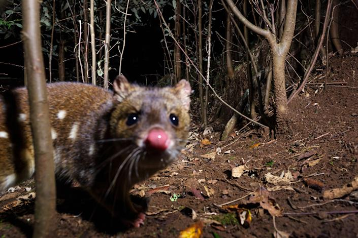 The spotted-tail quoll is endemic to eastern Australia and has suffered substantial decline since European settlement in Australia. (Photo: Heath Holden via Getty Images)