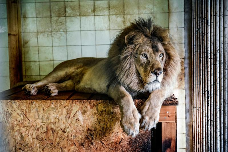 Bobby the lion in Tirana (Albania) Zoo on May 7, 2019.