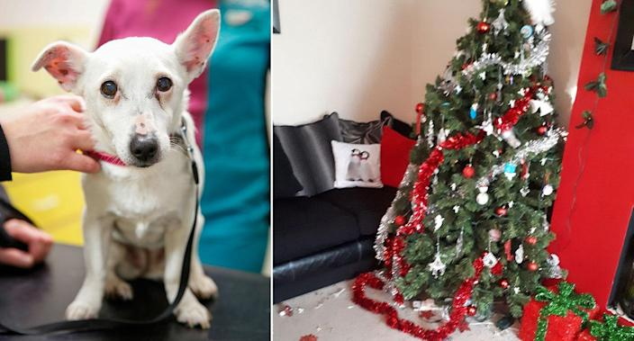 Lily the dog was rushed to hospital after eating chocolate Christmas decorations (Picture: PA)