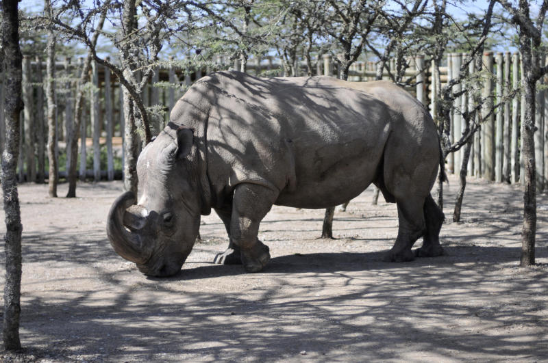 """FILE In this Monday Dec. 21, 2009 file photo,  Sudan, a northern white rhino, arrives at the Ol Pejeta Conservancy in Kenya. There's just one male northern white rhino left in the world, and he's getting some help from the Tinder dating app. A Kenyan wildlife conservancy is teaming up with Tinder for a campaign called """"The Most Eligible Bachelor in the World,"""" focusing on the rhino named Sudan. They are raising money for research to save the species from extinction. Sudan and his last two female companions are unable to breed naturally because of issues that include old age. (AP Photo/Riccardo Gangale, File)"""