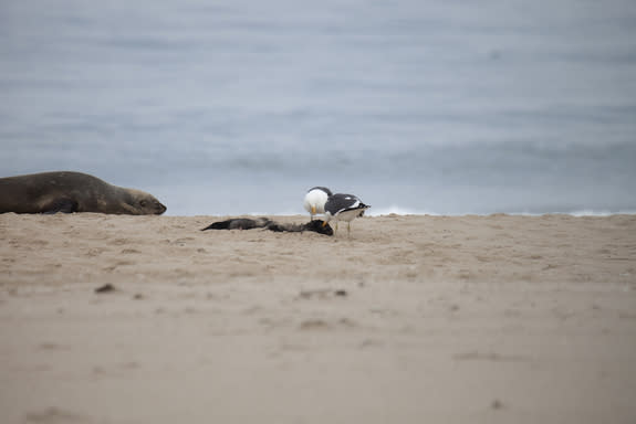 Gulls attack a seal pup's body after pecking out and eating the animal's eyeballs.