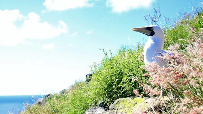 Masked booby peeks out of vegetation