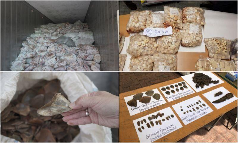 A shipment containing 12.9 tonnes of pangolin scales as well as 177kg of cut up and carved elephant ivory was seized on 3 April, 2019. (PHOTOS: NParks)