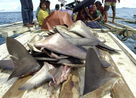 Approximately 31 percent of shark and ray species are recognised as threatened with extinction and an estimated 100 million sharks are killed annually (file image) (Getty Images)