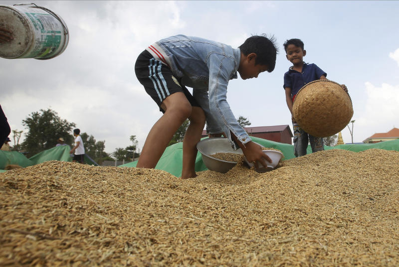 FILE - In this Nov. 17, 2019, file photo, boys help their family for collect rice during harvest season in Samroang Tiev village, outside Phnom Penh, Cambodia. Nearly a half-billion people in the Asia-Pacific are still malnourished and to achieve a goal of zero hunger by 2030 requires that millions escape food insecurity each month, according to a report released Wednesday by United Nations agencies. (AP Photo/Heng Sinith, File)