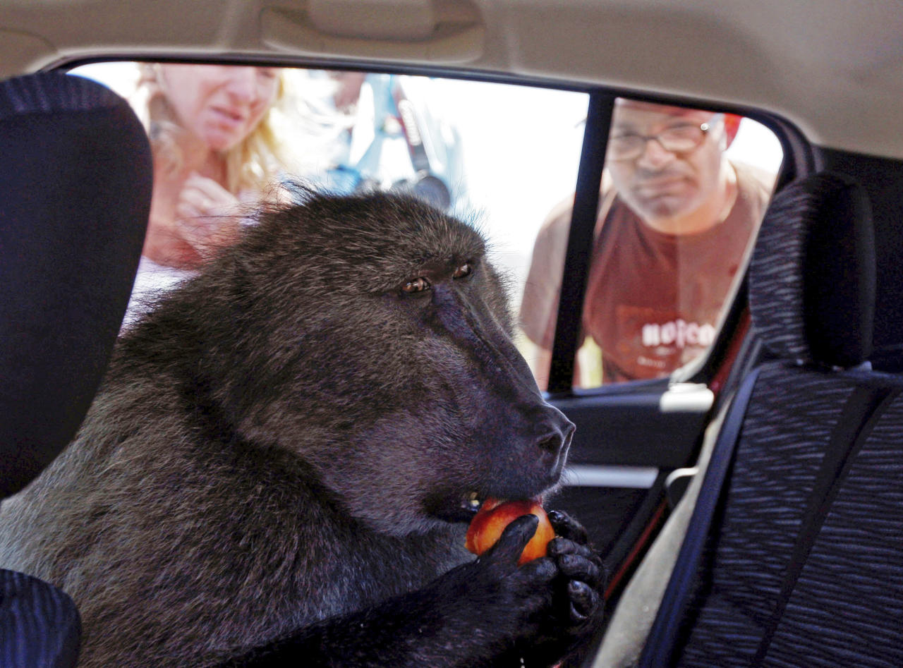 FILE- In this Tuesday, Nov. 24, 2009 file photo, a baboon called Fred sits inside a car as he eats a piece of fruit at Cape Point on the outskirts of  Cape Town, South Africa. South African officials say the country's most famous baboon, well-known for raiding cars and frightening tourists, has been euthanized on Friday, March 25, 2011.  (Photo/Schalk van Zuydam, File)
