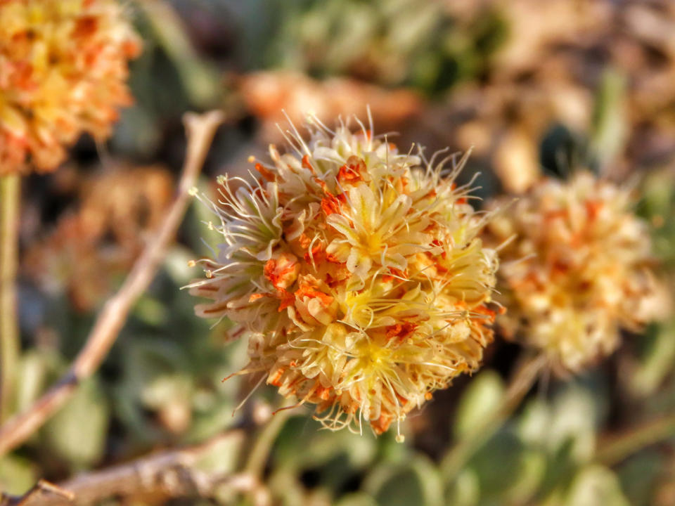 FILE - This June 1, 2019, file photo, provided by the Center for Biological Diversity shows Tiehm's buckwheat blooming at Rhyolite Ridge in the Silver Peak Range of Western Nevada. The Biden administration says a U.S. judge exceeded his authority when he ordered the Fish and Wildlife Service to decide by May 21, 2021, whether to formally propose endangered species protection and designate critical habitat for a rare desert wildflower at the center of a fight over a proposed lithium mine in Nevada. The department says the service intends to comply with the order to reach its overdue 12-month finding by May 21 on whether the flower should be proposed for protection under the Endangered Species Act. (Patrick Donnelly/Center for Biological Diversity via AP, File)