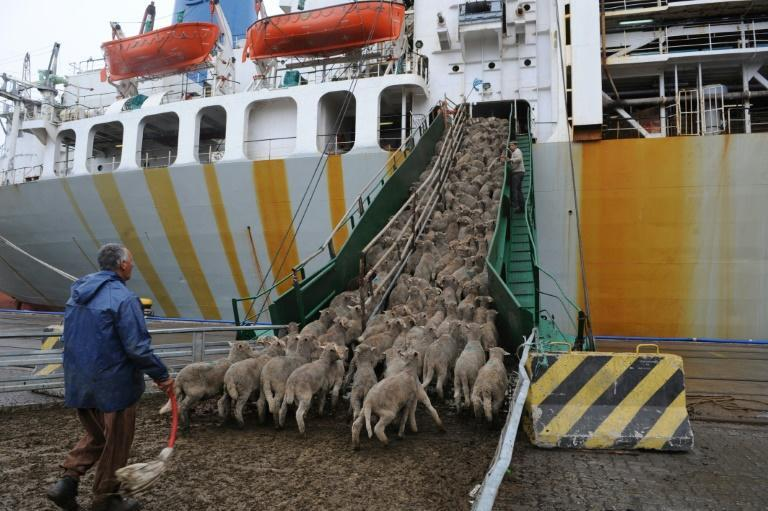 Millions of livestock, like these sheep boarding a ship in Montevideo in 2008, cross the ocean each year.