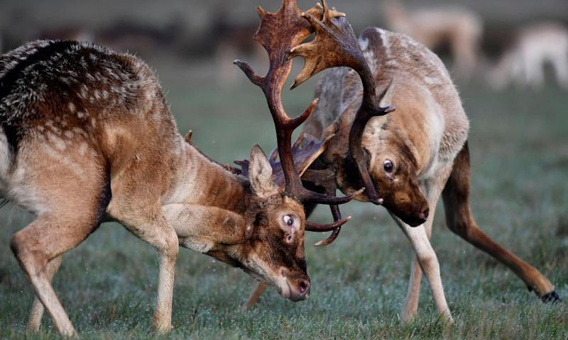 Two stags fighting