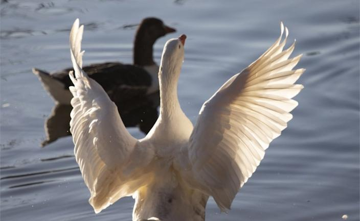 The day before, a goose stretches its wings across a lake in South Africa's largest city, Johannesburg.