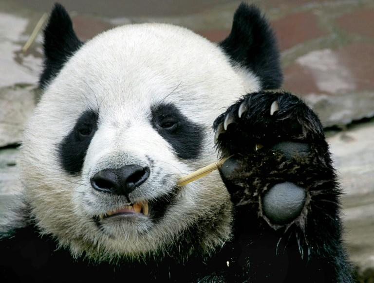 Chuang Chuang, a beloved giant panda on loan to Thailand from China, died in a Chiang Mai zoo aged 19