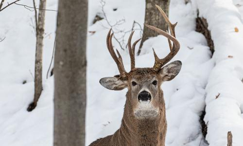 Three's a crown: photo of three-antlered deer is 'one-in-a-million' find