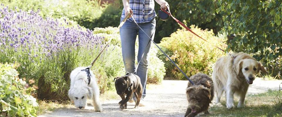 Professional Dog Walker Exercising Dogs In Park