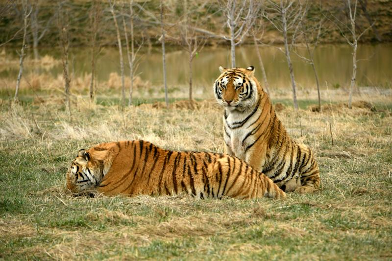 Two tiger brothers relax in their open enclosures at The Wild Animal Sanctuary on April 1, 2020 in Kennesburg, Colorado. (Photo: Helen H. Richardson/MediaNews Group/The Denver Post via Getty Images via Getty Images)