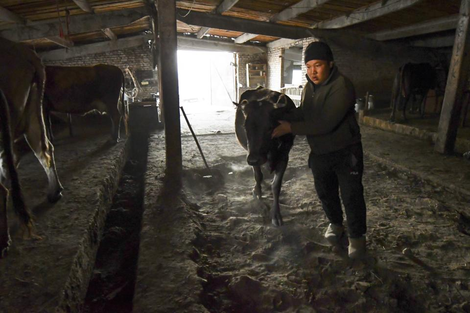 Adilet Kaliyev, son of Kanat Kaliyev, takes a cow into a farm near their family house in Tash Bashat village about 24 kilometers (15 miles) southeast of Bishkek, Tuesday, Oct. 20, 2020. Kyrgyzstan, one of the poorest countries to emerge from the former Soviet Union, where political turmoil has prompted many people to have little respect for authorities, whom they see as deeply corrupt. (AP Photo/Vladimir Voronin)