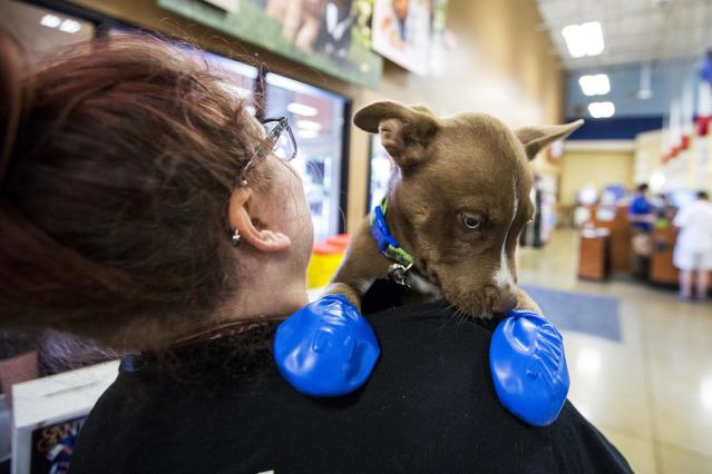 <p>Morgan Reed, a promotions assistant for KSLX, plays with a puppy wearing elastic booties at a PetSmart in Tempe, Ariz. on Tuesday, June 20, 2017. (Angie Wang/AP) </p>