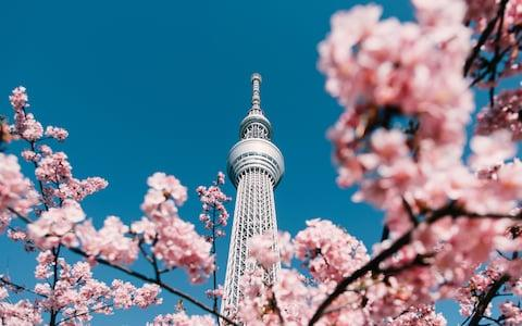 Tokyo cherry blossom - Credit: Alvin Huang