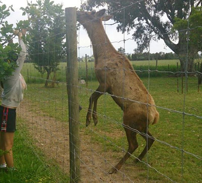 A deer which was kept at the property. Source: Facebook/ Paul McDonald