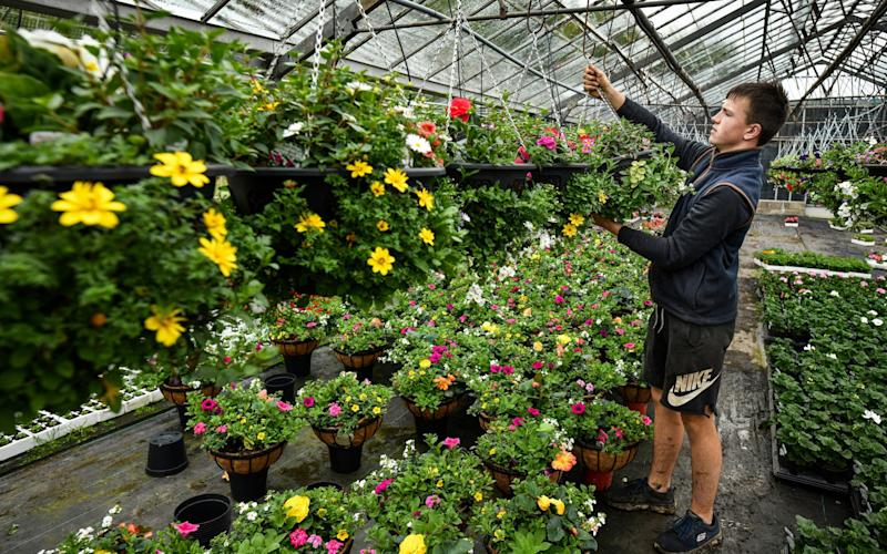 Staff at Gouldings Garden Centre in Carluke prepare for reopening to the public, after being closed for nine weeks - Getty Images Europe