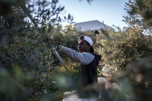 Workers pick olives during harvest season in the Greek-Cypriot village of Agios Ioannis
