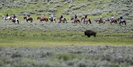 Horse back riders pass a bison near the Lamar Valley in Yellowstone National Park, Wyoming in this June 20, 2011 file photo. REUTERS/Jim Urquhart/Files