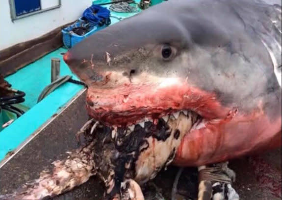 WARNING - DISTURBING CONTENT: Incredible pictures show a monster shark, believed to have choked to death on a giant sea turtle. Source: Greg Vella/Facebook