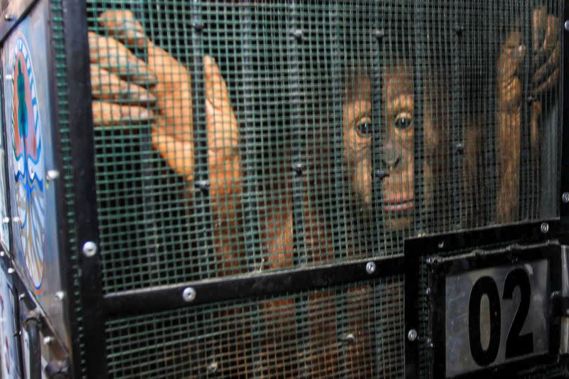 Orangutan, which was seized from the Thailand-Malaysia border 3 years ago, looks from a cage before being released into the forest at Sultan Thaha Saifuddin Airport