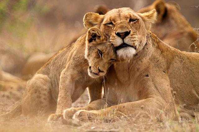 Lion and lioness in Timbavati, Kruger NP, South Africa.